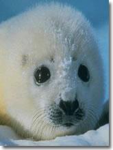Una accorata protesta internazionale contro il massacro delle foche
