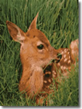 Il cacciatore che salva Bambi.