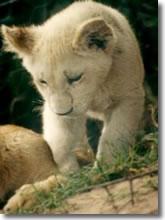 Baby leonessa bianca