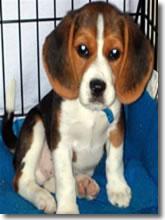 Salviamo la vita a tre Beagle.