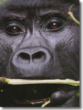 """Il """"Grande Gorilla"""" !"""